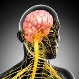 Νευρικό σύστημα του αρσενικού ελεύθερη απεικόνιση δικαιώματος