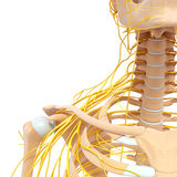 Νευρικό σύστημα του θηλυκού σώματος διανυσματική απεικόνιση