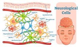 Νευρολογικό διάγραμμα απεικόνισης κυττάρων διανυσματικό Εκπαιδευτικές ιατρικές πληροφορίες ελεύθερη απεικόνιση δικαιώματος