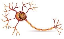 νευρώνας απεικόνιση αποθεμάτων