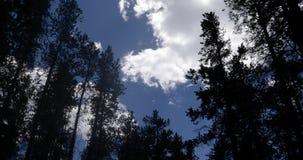 Νεφελώδεις ουρανοί πέρα από τα ταλαντεμένος δέντρα 4k 24fps πεύκων φιλμ μικρού μήκους
