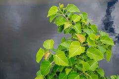 Νεφελώδης ουρανός δέντρων Bodhi blackground στοκ εικόνα με δικαίωμα ελεύθερης χρήσης