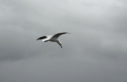 νεφελώδης πετώντας seagull ου&rh στοκ εικόνα