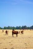 νεφελώδες πεδίο αγελάδων φυσικό Στοκ Φωτογραφία
