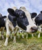 νεφελώδες πεδίο αγελάδων φυσικό Στοκ Φωτογραφίες