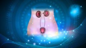 Νεφρά και ουρική υγειονομική περίθαλψη κύστεων ελεύθερη απεικόνιση δικαιώματος