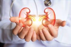 Νεφρά υποστηρίξεων γιατρών υγιή Στοκ εικόνες με δικαίωμα ελεύθερης χρήσης