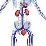 νεφρά Στοκ Εικόνες