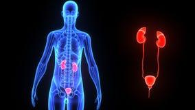 νεφρά απεικόνιση αποθεμάτων