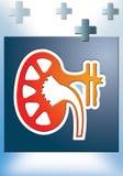 νεφρολογία Στοκ Εικόνες