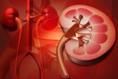νεφρό Στοκ εικόνες με δικαίωμα ελεύθερης χρήσης