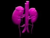 Νεφρό Στοκ Εικόνα
