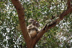 Νησί καγκουρό, Αυστραλία Το koala που στηρίζεται στο δέντρο Στοκ Φωτογραφίες