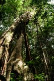 Νησί της Καμπότζης υψηλό τροπικό δέντρο στοκ εικόνες