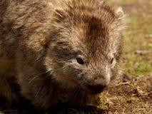 Νησί της Μαρίας - στενός επάνω Wombat Στοκ Φωτογραφίες