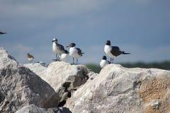 Νησί της Shell, γλάροι της Φλώριδας στην παραλία πόλεων του Παναμά βράχων στοκ φωτογραφίες