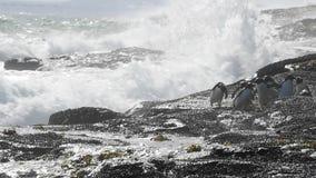 Νησί των Νησιών Φόλκλαντ Rockhopper penguins φιλμ μικρού μήκους
