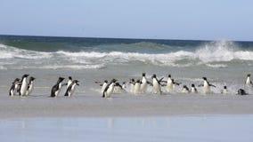 Νησί των Νησιών Φόλκλαντ Rockhopper penguins απόθεμα βίντεο