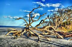 Νησί Jekyll παραλιών Driftwood, Γεωργία Στοκ Φωτογραφία