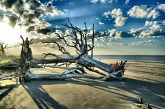 Νησί Jekyll παραλιών Driftwood, Γεωργία Στοκ Εικόνα
