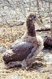 νησιά του Ισημερινού galapagos άλμπατρος που κυματίζουν Στοκ Εικόνες