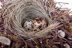 νησοπέρδικες αυγών Στοκ Φωτογραφίες