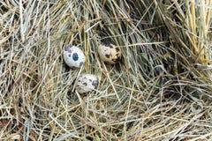 νησοπέρδικες τρία αυγών Στοκ εικόνα με δικαίωμα ελεύθερης χρήσης