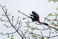 Νικαραγουανός πίθηκος αραχνών στοκ φωτογραφία με δικαίωμα ελεύθερης χρήσης