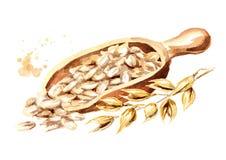 Νιφάδες βρωμών στη σέσουλα και το αυτί των oeats Συρμένη χέρι απεικόνιση Watercolor που απομονώνεται στο άσπρο υπόβαθρο ελεύθερη απεικόνιση δικαιώματος