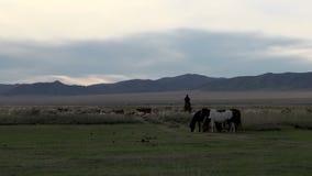 Νομάδας που οδηγά ένα άλογο μεταξύ των βοοειδών απόθεμα βίντεο
