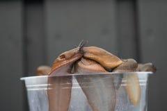 Νορβηγικά σαλιγκάρια Στοκ Φωτογραφίες
