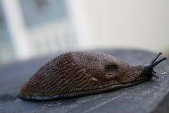 Νορβηγικά σαλιγκάρια Στοκ Εικόνα