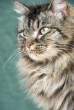 Νορβηγική δασική γάτα από την πλευρά Στοκ Εικόνες