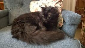 Νορβηγική δασική γάτα Στοκ φωτογραφίες με δικαίωμα ελεύθερης χρήσης