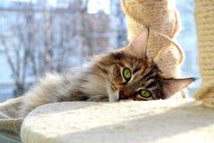 Νορβηγική δασική γάτα Στοκ Εικόνες