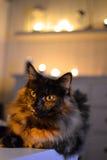 Νορβηγική δασική γάτα Στοκ εικόνα με δικαίωμα ελεύθερης χρήσης