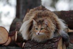 Νορβηγική δασική γάτα Στοκ Φωτογραφία