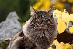 Νορβηγική δασική γάτα Στοκ Φωτογραφίες