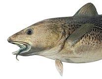 Νορβηγική ατλαντική απεικόνιση ψαριών βακαλάων απεικόνιση αποθεμάτων