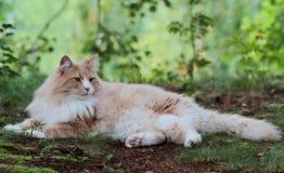 Νορβηγική δασική αρσενική στήριξη γατών στοκ φωτογραφίες