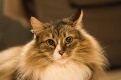 Νορβηγική πιό forrest γάτα Στοκ φωτογραφίες με δικαίωμα ελεύθερης χρήσης