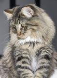Νορβηγικό δασικό πορτρέτο γατών Στοκ Εικόνες