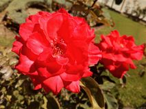 Νοσταλγικά κόκκινα τριαντάφυλλα στη φύση Στοκ Εικόνα
