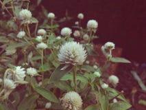 Νοσταλγία με το δροσερό όμορφο άσπρο λουλούδι κρότου Στοκ φωτογραφία με δικαίωμα ελεύθερης χρήσης