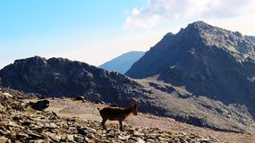 Νοτιοανατολικό αγριοκάτσικο - οροσειρά Νεβάδα στοκ φωτογραφία