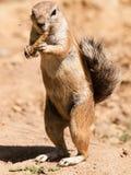Νοτιοαφρικανικός επίγειος σκίουρος - inauris Xerus - που τρώει τους σπόρους από το σπάδικα στοκ εικόνες