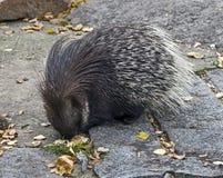 Νοτιοαφρικανικό porcupine Στοκ φωτογραφία με δικαίωμα ελεύθερης χρήσης