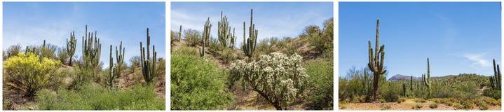 Νοτιοδυτικό κολάζ σκηνής ερήμων κάκτων Saguaro Στοκ εικόνα με δικαίωμα ελεύθερης χρήσης