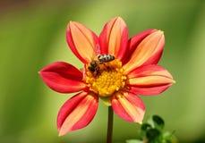 Ντάλια και μέλισσα στοκ εικόνες με δικαίωμα ελεύθερης χρήσης