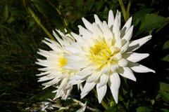Ντάλια με τα κρεμ πέταλα Άσπρο αστέρι νταλιών Άσπρες ντάλιες στον κήπο στοκ εικόνα με δικαίωμα ελεύθερης χρήσης